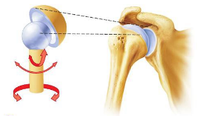three common shoulder injuries - pivotal physio, Human Body